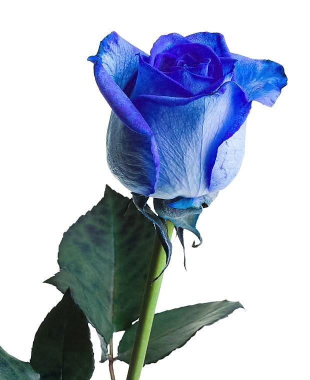 Rosas De Colores Su Significado