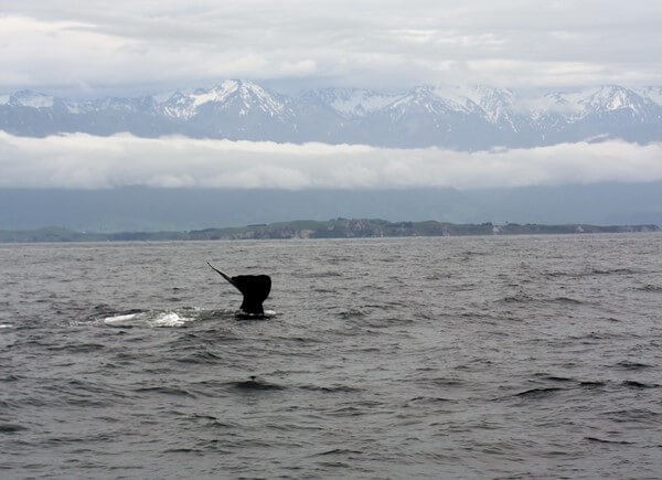 Viaje en Nueva Zelanda: Kaikoura ballenas