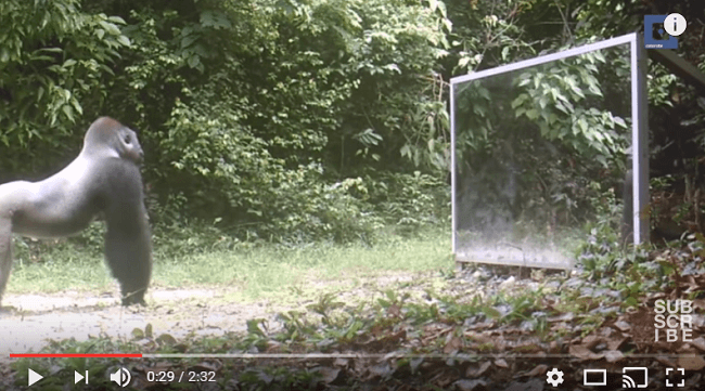 Esto es lo que pasa si pones un espejo en medio de la selva