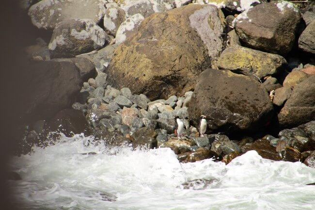 Pinguinos en Milford Sound