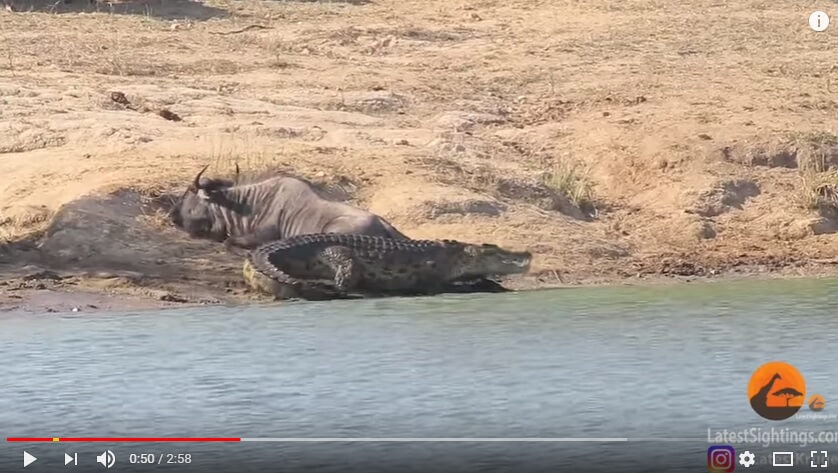Safari en Kruger: hipopótamos salvan a ñu de un cocodrilo