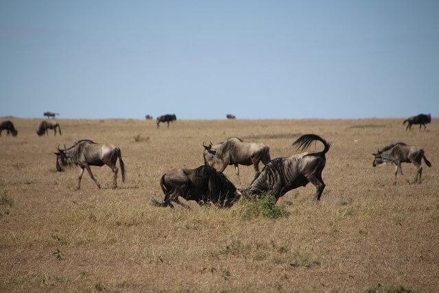 Safari en Kenia ñus