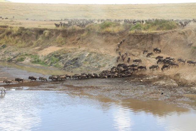 Safari en África: Gran Migración Masai Mara