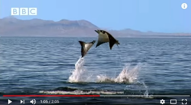 Impresionante para ver: mantas saltando en el mar
