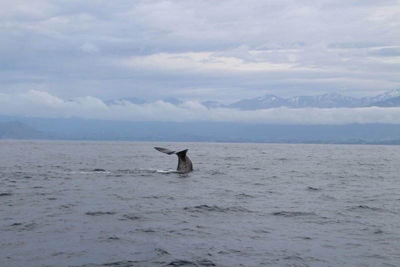Avistamiento Ballenas Kaikoura Nueva Zelanda (15)