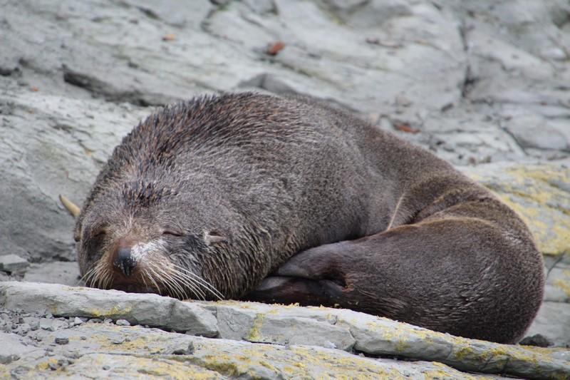 Viaje a Nueva Zelanda: Kaikoura foca descansando