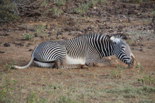 Safari Kenya: Samburu Zebra