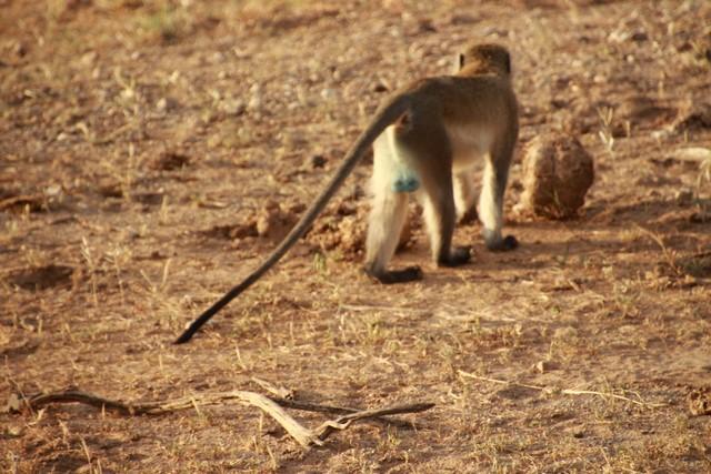 Samburu, mono pelotas azules