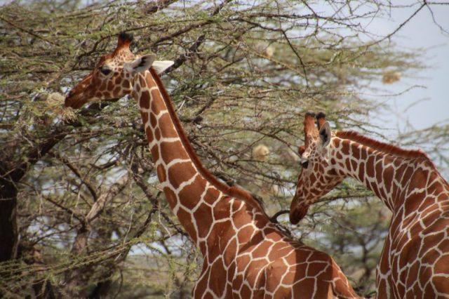 Safari Kenya: Samburu Jirafa