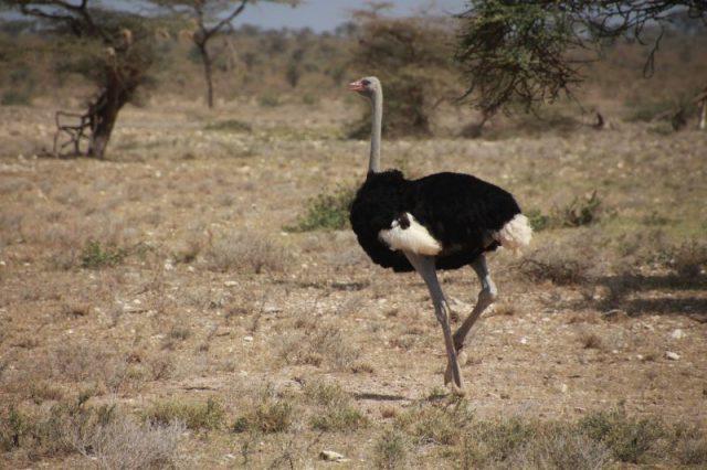Safari Kenya: Samburu Avestruz