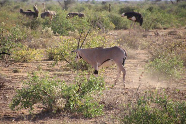 Safari Kenya: Samburu Oryx