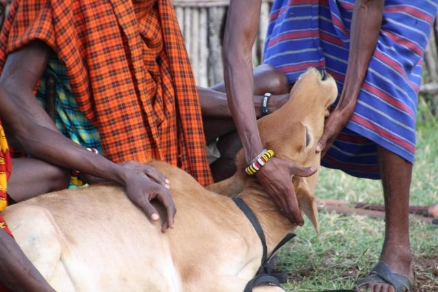 Tribu masai preparación ritual guerrero