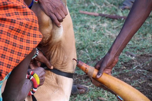 Tribu masai, sangre para beber