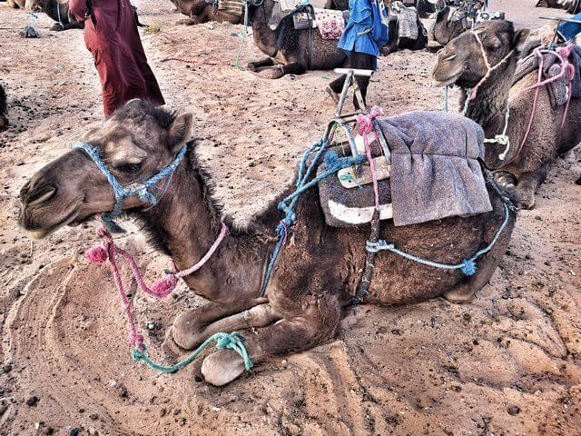 Desierto de merzouga marruecos dromedario