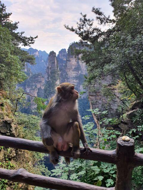 Monos en Parque Nacional de Zhangjiajie